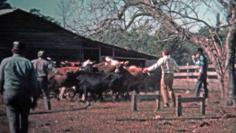 1971: Men corralling cattle for the local meat market Footage