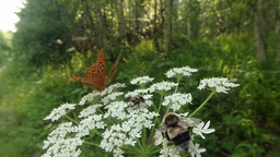 Butterfly repels huge bumblebee with a white flower, but does not touch beetle Footage