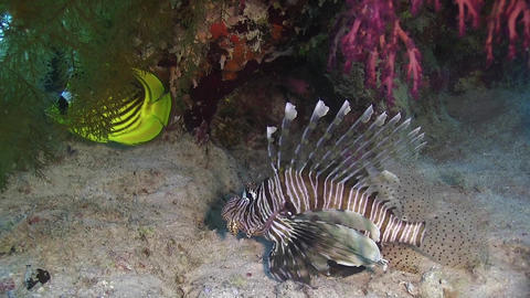 African Lionfish on Coral Reef Footage