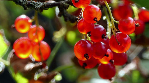 Big Red Currant 4k stock footage