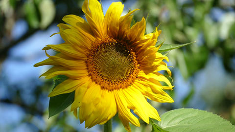 Sunflower - Against The Backdrop Of The Green And The Sky stock footage