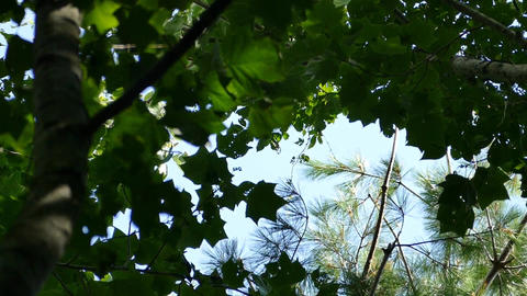 Looking at the sky through the trees Footage