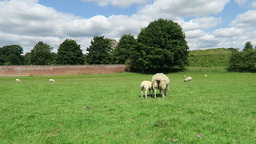 Ewe and lamb grazing in field Footage