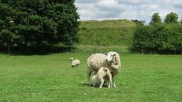 Lamb suckles off ewe Footage