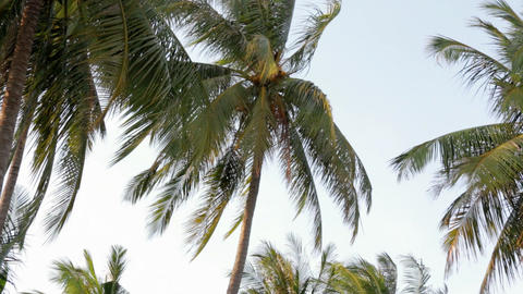 Coconut tree leaves swaying in the wind Footage