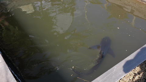 Small shark swimming around a small fish fence Footage
