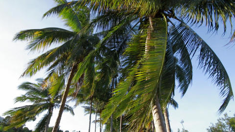 Wide angle shot of coconut palms in sunny countryside Footage