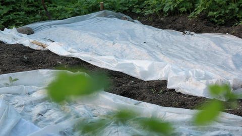 Currant leaves and a white gauze cover in garden Footage