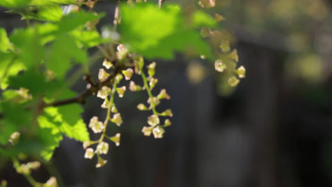 Redcurrant flowering in sunshine Footage