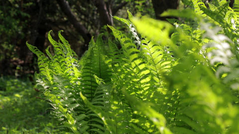 Rack focus shot of green ostrich fern leaves Live Action