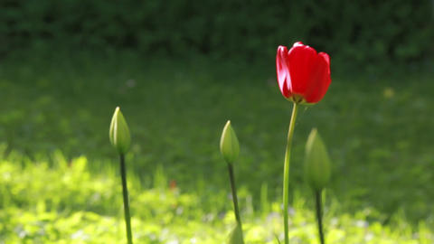 Racking focus shot of a red tulip and buds Live Action