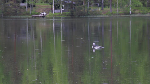 Loon at a rainy lake with cottage in the background Footage