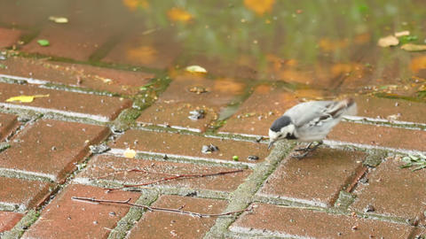Wagtail bird Footage