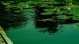 Lotus Leaves With Water Shining In The Sun Footage