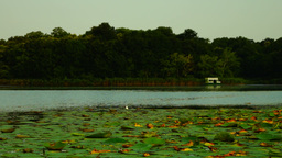 Lotus Leaves With Seagull, Pan. Sound stock footage