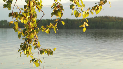 Birch leaves and lake in evening sun Footage