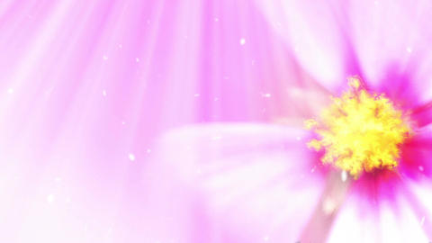 Pink flower background loop Animation