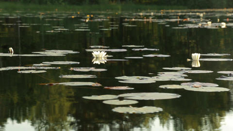 Moving camera shot of white waterlilies and dragonflies Footage