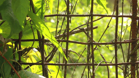 Creeper Plant And Iron Net Garden Fence stock footage