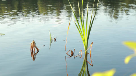 Tilt Shot Of Cattail Leaves At A Small Lake stock footage