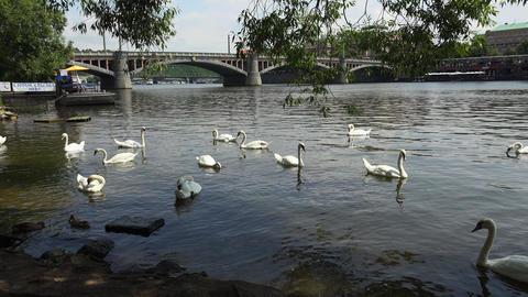 Swans in the river Vltava in Prague. 4K Footage