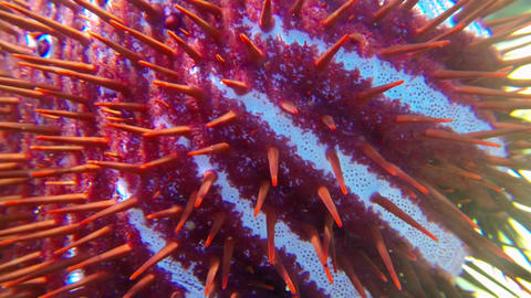 Long spines of crown-of-thorns starfish Live Action