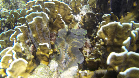 Large seashell between brown corals in Thailand Live Action