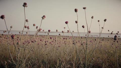 tall pink flowers fine thistle flutter in the wind on the beach Evening Footage