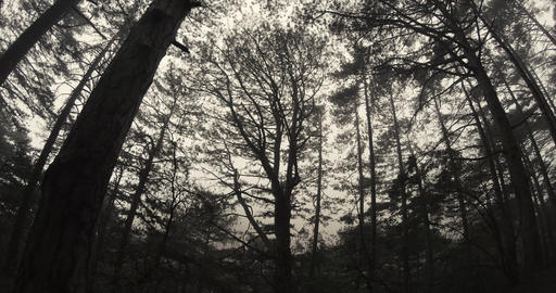 thick pine forest in the spring mountain silhouetted against the cloudy sky Footage