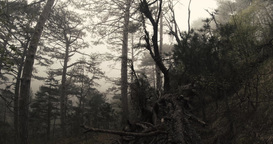 old pine forest in the spring mountain silhouetted against the dense fog Footage