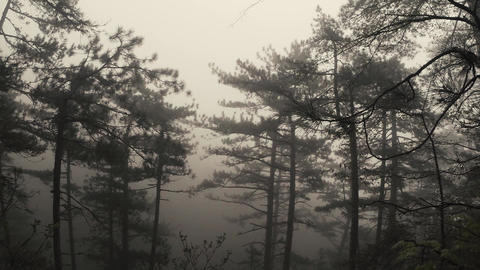 Mountain pine forest in the dense thick fog Footage