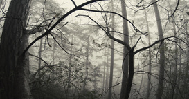 thicket of mountain forest shrouded in mist Footage