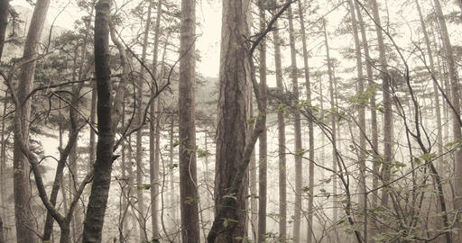 thicket trunks mountain forest and fog at the bottom Footage