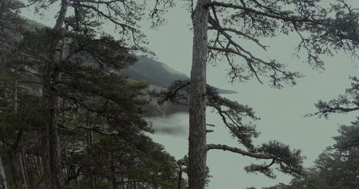 through a mountain pine forest is visible at the bottom of the fog Footage
