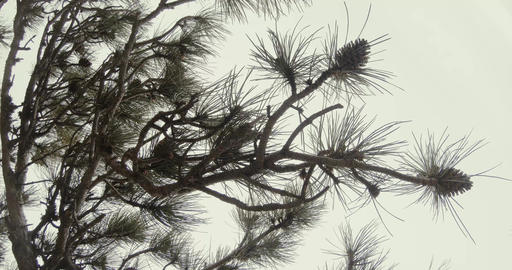 pine branch with pine needles and cones against the white thick fog Footage