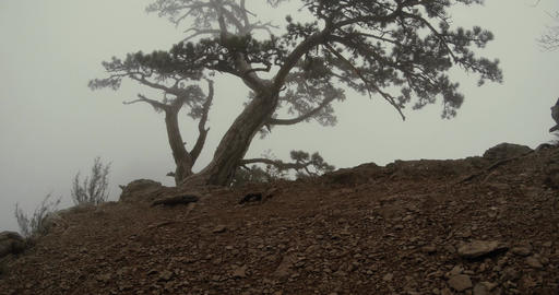 pine tree on the edge of a cliff in the mountains to the dense fog rests Footage