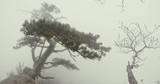 lonely coniferous tree on the edge of the cliff in thick fog Footage