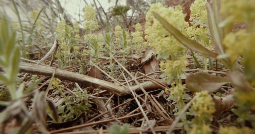 through last year's leaves and branches grow wild spring flowers close up Footage