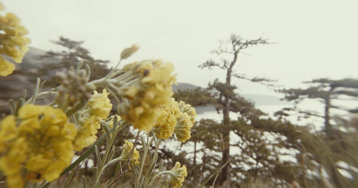 yellow wildflowers in the mountains, pine trees and fog behind Footage