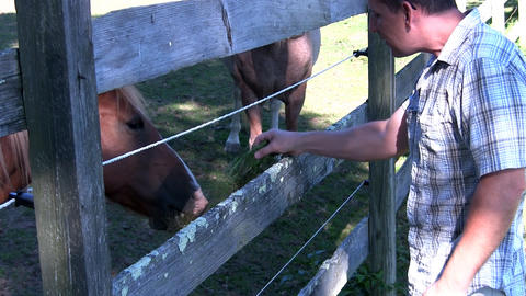 Man feeds grass to horses through electrified wooden fence on summer day Footage