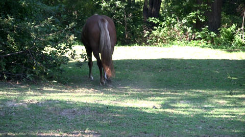 Horse walks away from camera around small tree into shaded area on hot summer da Footage