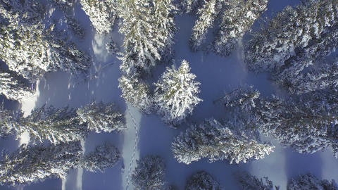 AERIAL: Footsteps in fresh snow leading through the winter forest Footage