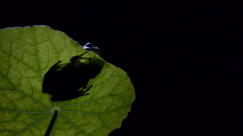 Southern frog at night Footage