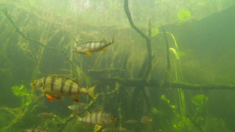 Group of European perch swimming in greenish water Footage