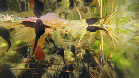 Water surface and tadpoles Footage