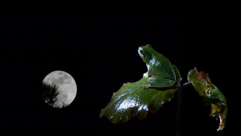 Southern male and female frog on the leaves of a bush at night Footage
