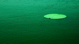 Lotus Leaf Floating Moved By The Wind, In Wind (Nelumbo Nucifera) Footage