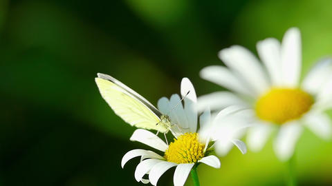 White butterfly on a flower Footage