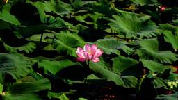 Lotus Leaves And Flowers (Nelumbo Nucifera) On Lake, Wind And Waves Footage