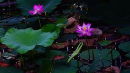 Lotus Leaves And Flowers (Nelumbo Nucifera) On Lake, Waves Footage